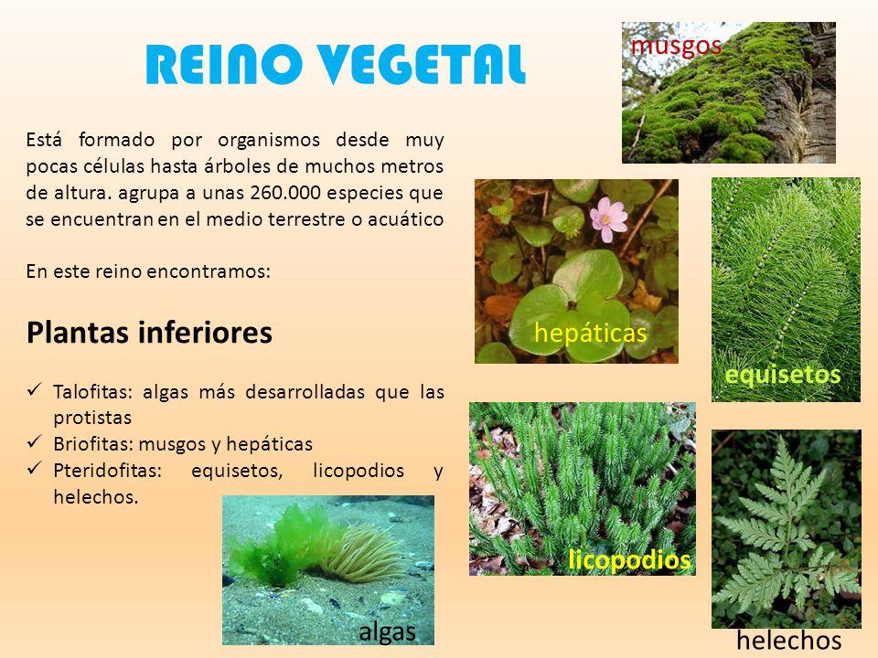 REINO VEGETAL Plantas inferiores musgos hepáticas equisetos licopodios