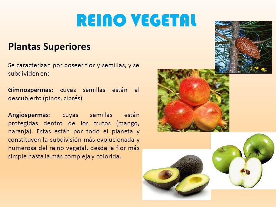 REINO VEGETAL Plantas Superiores