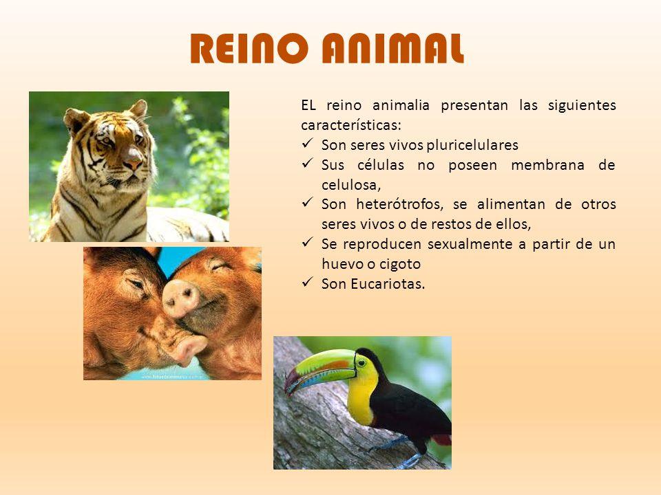 REINO ANIMAL EL reino animalia presentan las siguientes características: Son seres vivos pluricelulares.