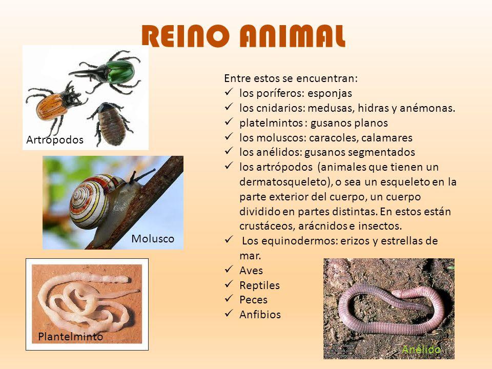 REINO ANIMAL Entre estos se encuentran: los poríferos: esponjas
