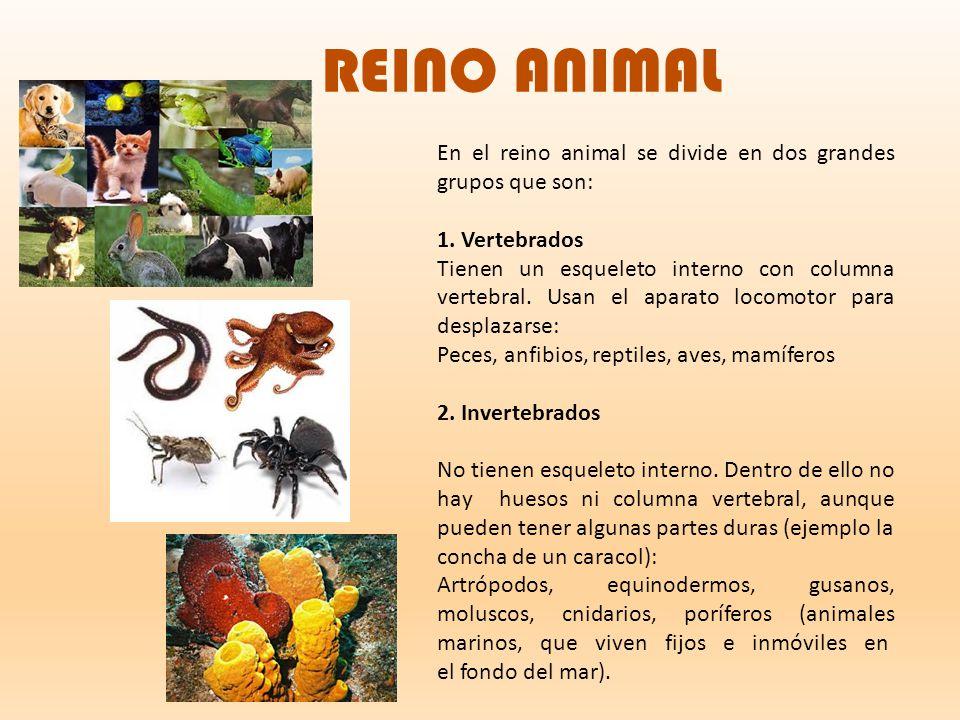 REINO ANIMAL En el reino animal se divide en dos grandes grupos que son: 1. Vertebrados.