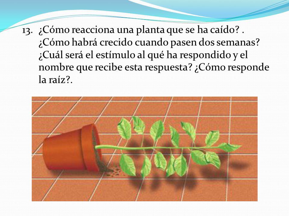 ¿Cómo reacciona una planta que se ha caído