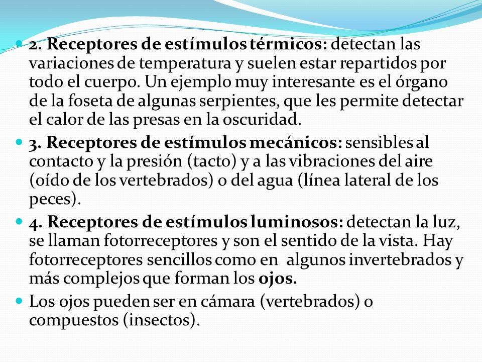 2. Receptores de estímulos térmicos: detectan las variaciones de temperatura y suelen estar repartidos por todo el cuerpo. Un ejemplo muy interesante es el órgano de la foseta de algunas serpientes, que les permite detectar el calor de las presas en la oscuridad.