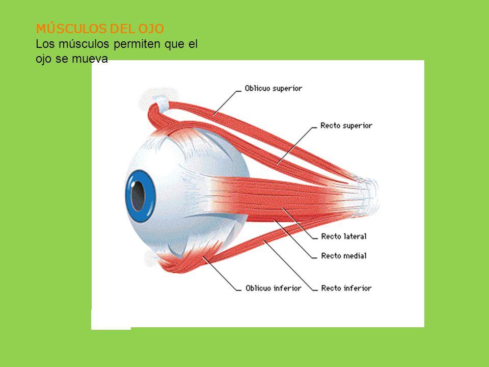 MÚSCULOS DEL OJO Los músculos permiten que el ojo se mueva