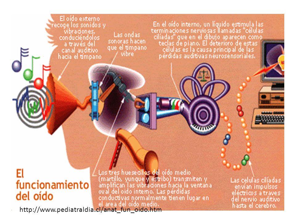 http://www.pediatraldia.cl/anat_fun_oido.htm