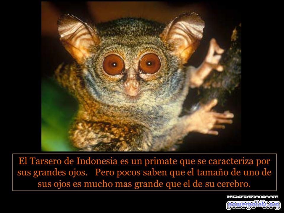 El Tarsero de Indonesia es un primate que se caracteriza por sus grandes ojos.