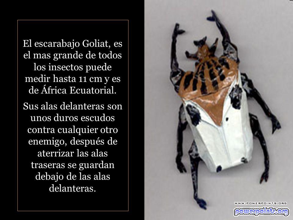 El escarabajo Goliat, es el mas grande de todos los insectos puede medir hasta 11 cm y es de África Ecuatorial.
