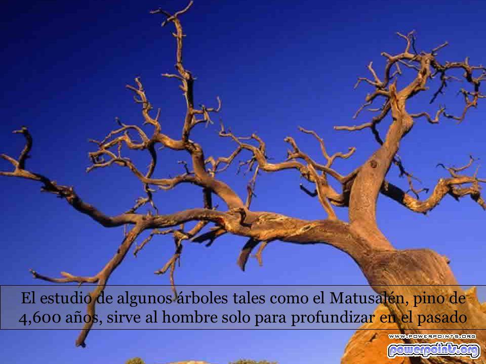 El estudio de algunos árboles tales como el Matusalén, pino de 4,600 años, sirve al hombre solo para profundizar en el pasado