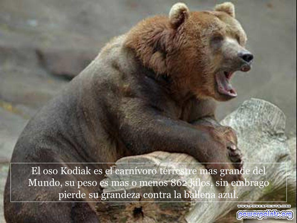 El oso Kodiak es el carnívoro terrestre mas grande del Mundo, su peso es mas o menos 862 kilos, sin embrago pierde su grandeza contra la ballena azul.