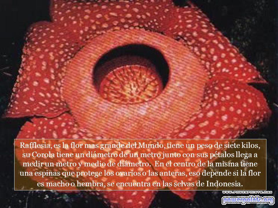 Rafflesia, es la flor mas grande del Mundo, tiene un peso de siete kilos, su Corola tiene un diámetro de un metro junto con sus pétalos llega a medir un metro y medio de diámetro.