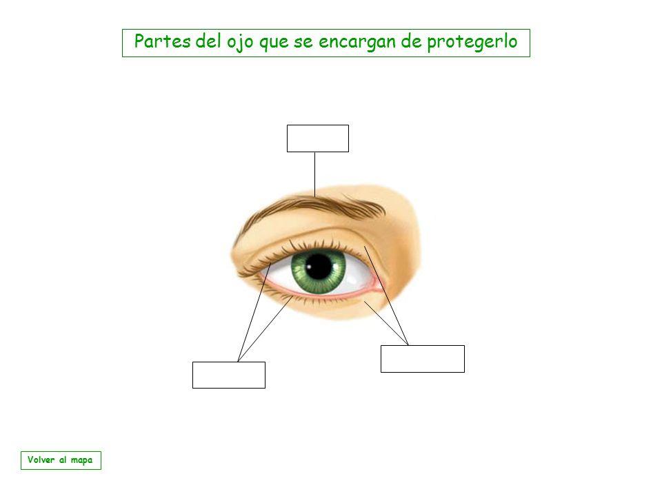 Partes del ojo que se encargan de protegerlo