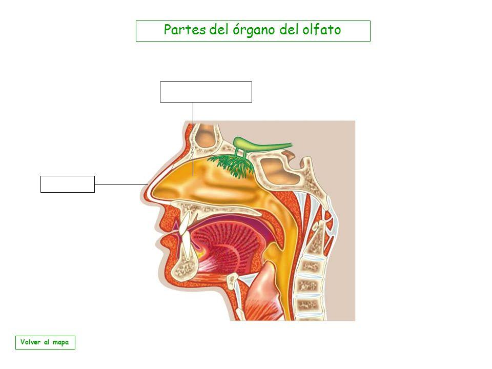 Partes del órgano del olfato