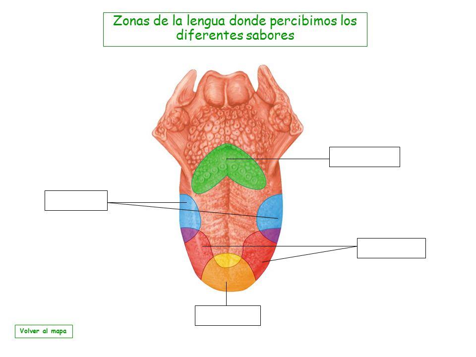Zonas de la lengua donde percibimos los diferentes sabores