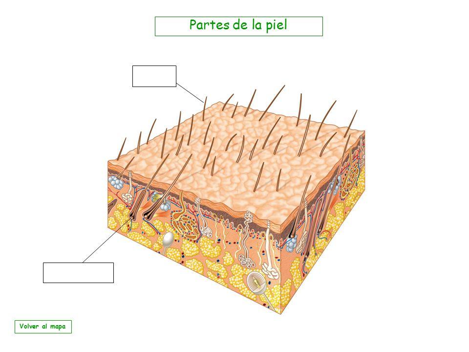 Partes de la piel Volver al mapa