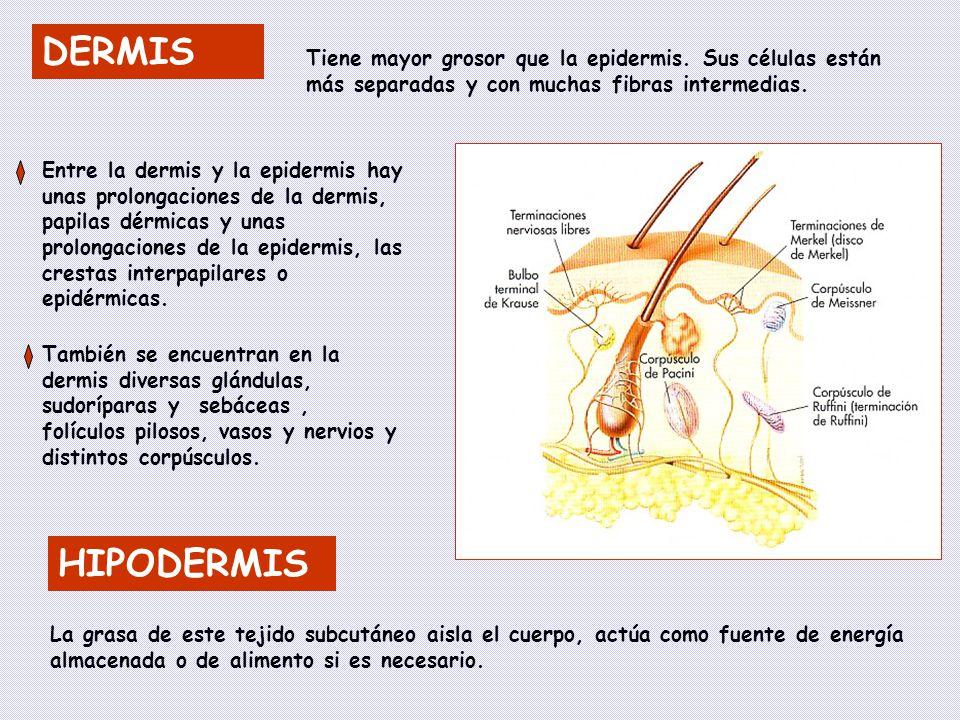DERMIS Tiene mayor grosor que la epidermis. Sus células están más separadas y con muchas fibras intermedias.