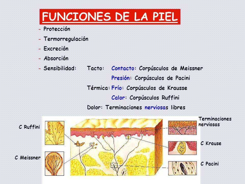 FUNCIONES DE LA PIEL - Protección - Termorregulación - Excreción