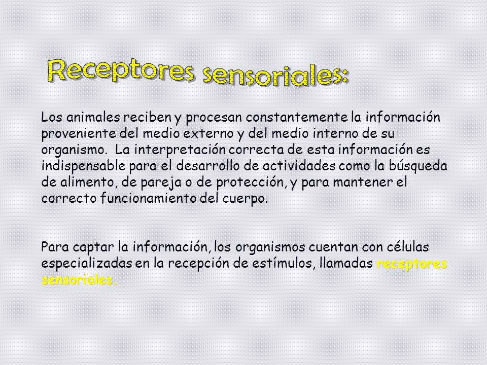 Receptores sensoriales: