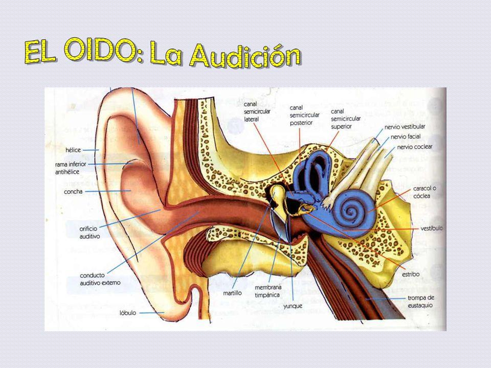 EL OIDO: La Audición