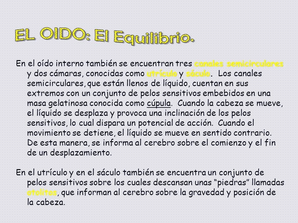 EL OIDO: El Equilibrio.