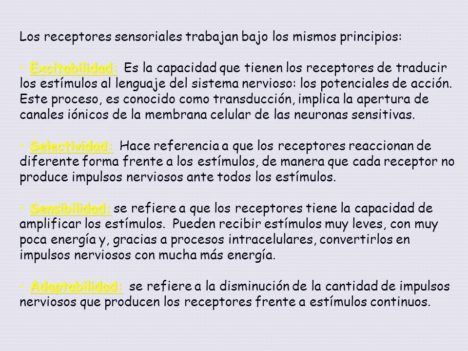 Los receptores sensoriales trabajan bajo los mismos principios: