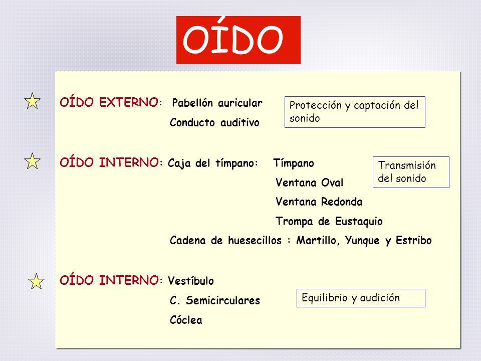 OÍDO OÍDO EXTERNO: Pabellón auricular