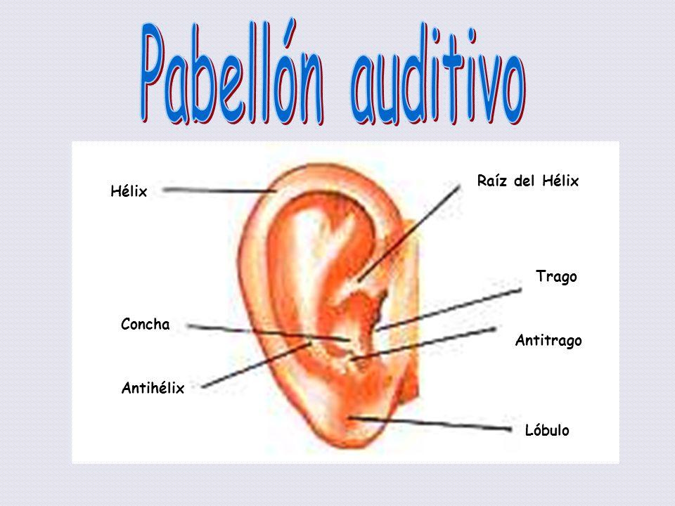 Pabellón auditivo Raíz del Hélix Hélix Trago Concha Antitrago