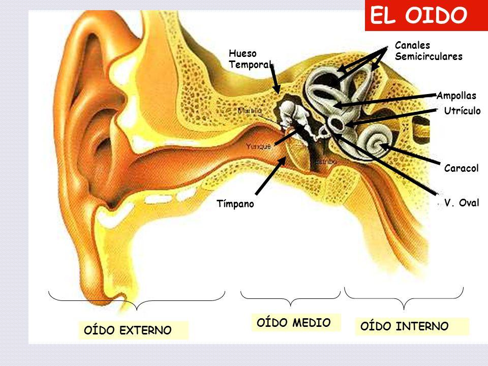 EL OIDO OÍDO MEDIO OÍDO INTERNO OÍDO EXTERNO Canales Semicirculares