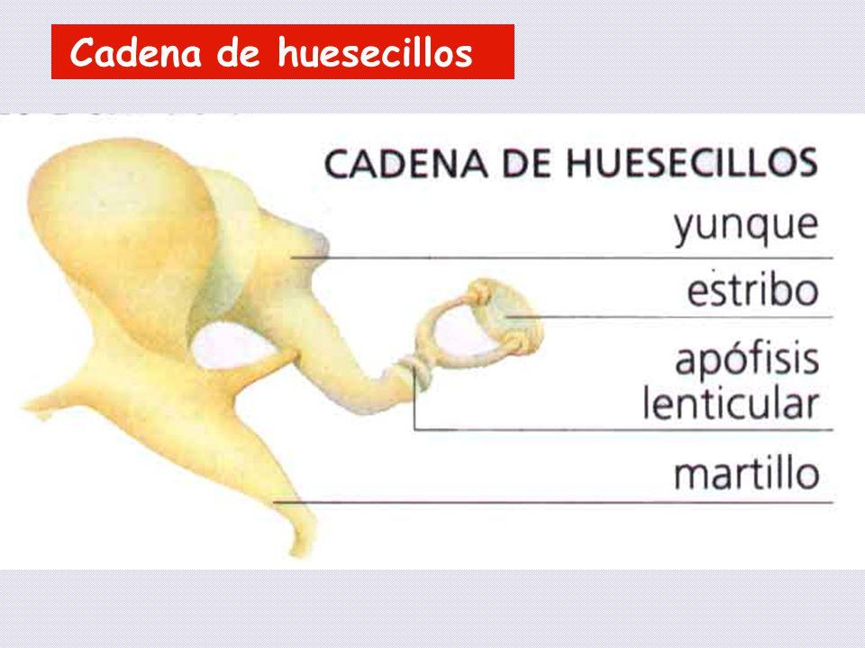 Cadena de huesecillos