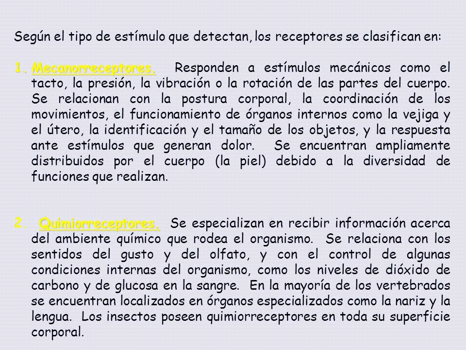Según el tipo de estímulo que detectan, los receptores se clasifican en: