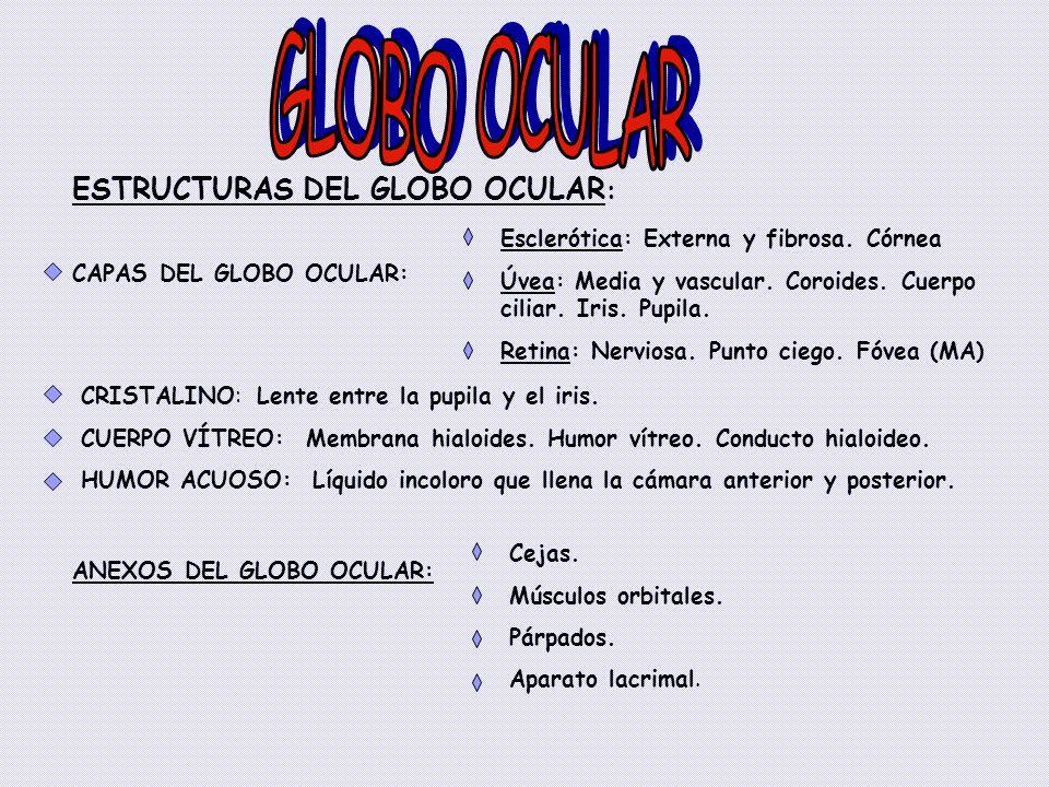 GLOBO OCULAR ESTRUCTURAS DEL GLOBO OCULAR: