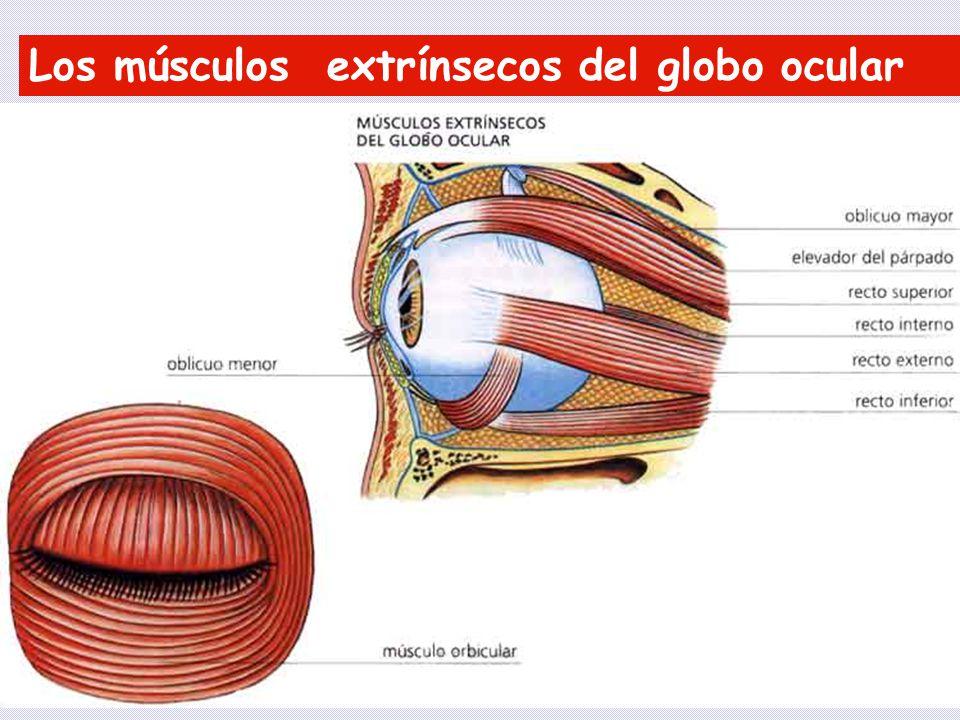 Los músculos extrínsecos del globo ocular