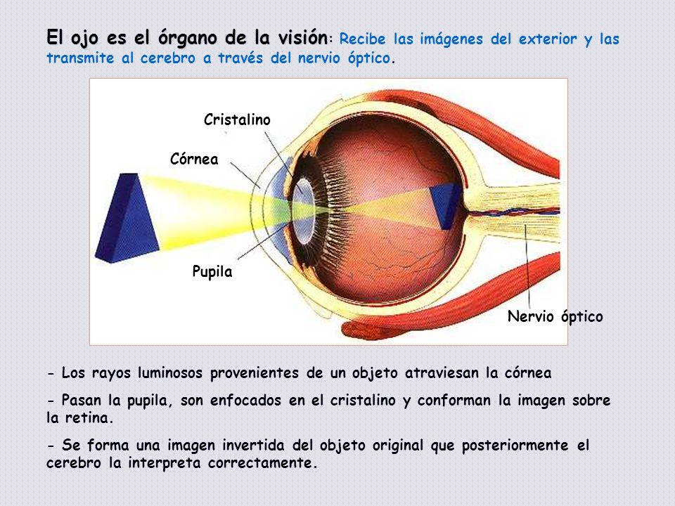 El ojo es el órgano de la visión: Recibe las imágenes del exterior y las transmite al cerebro a través del nervio óptico.