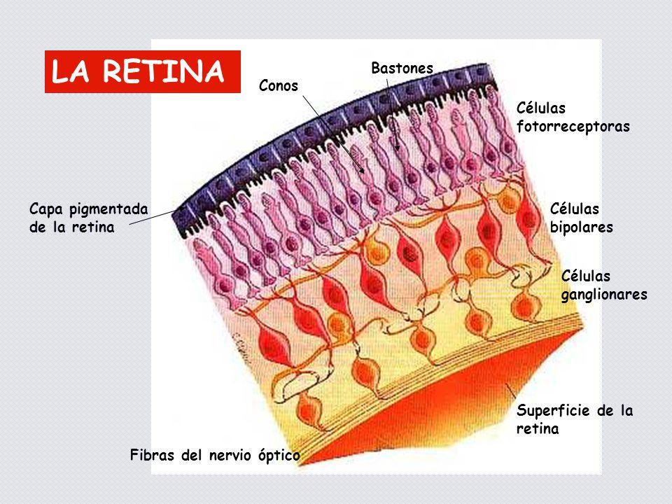 LA RETINA Bastones Conos Células fotorreceptoras
