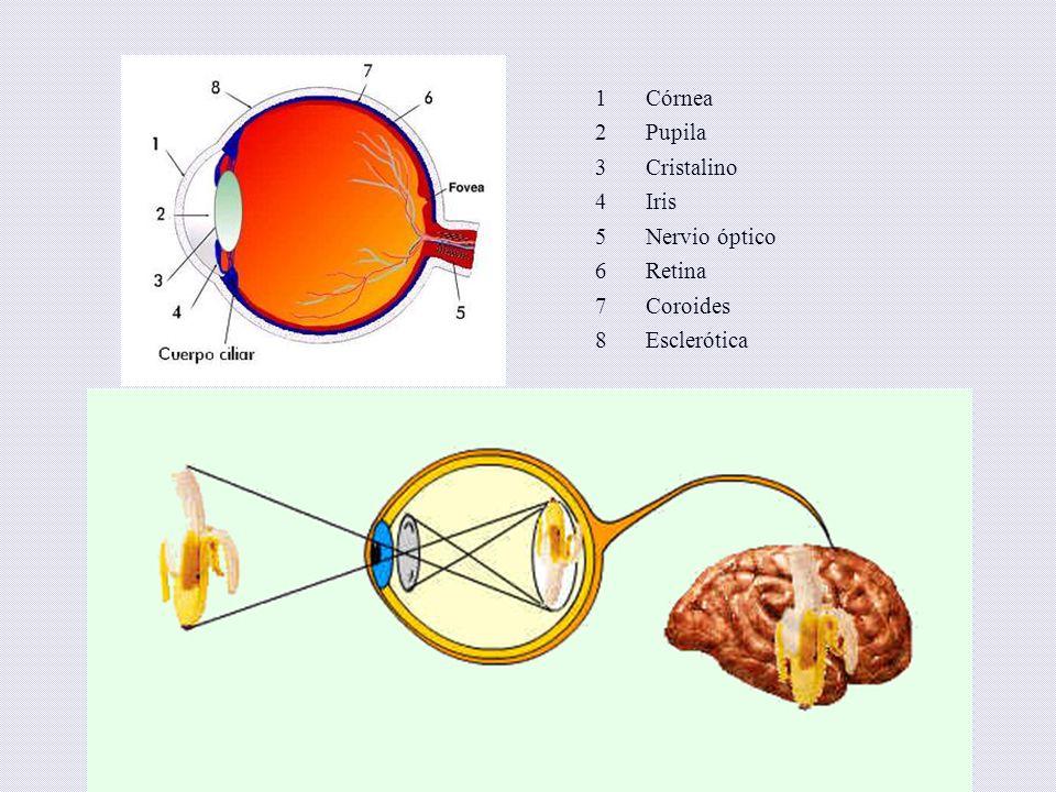 1 Córnea. 2 Pupila. 3 Cristalino. 4 Iris. 5 Nervio óptico. 6 Retina.