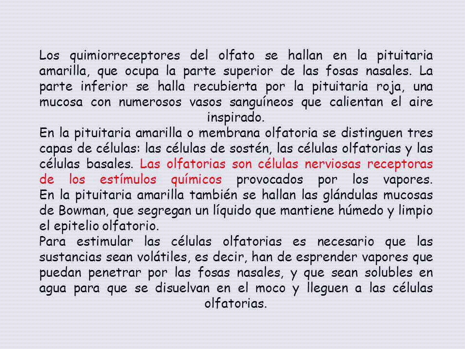 Los quimiorreceptores del olfato se hallan en la pituitaria amarilla, que ocupa la parte superior de las fosas nasales. La parte inferior se halla recubierta por la pituitaria roja, una mucosa con numerosos vasos sanguíneos que calientan el aire inspirado. En la pituitaria amarilla o membrana olfatoria se distinguen tres capas de células: las células de sostén, las células olfatorias y las células basales. Las olfatorias son células nerviosas receptoras de los estímulos químicos provocados por los vapores. En la pituitaria amarilla también se hallan las glándulas mucosas de Bowman, que segregan un líquido que mantiene húmedo y limpio el epitelio olfatorio.