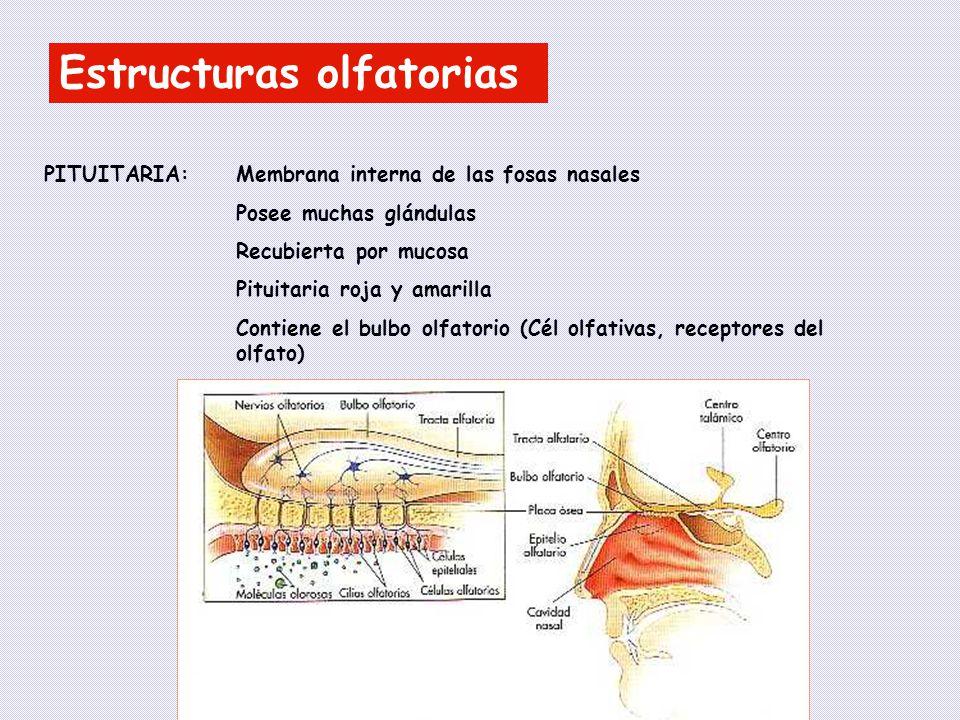 Estructuras olfatorias