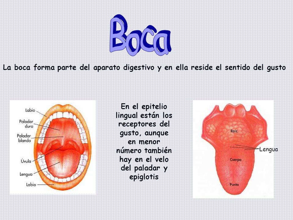 Boca La boca forma parte del aparato digestivo y en ella reside el sentido del gusto.