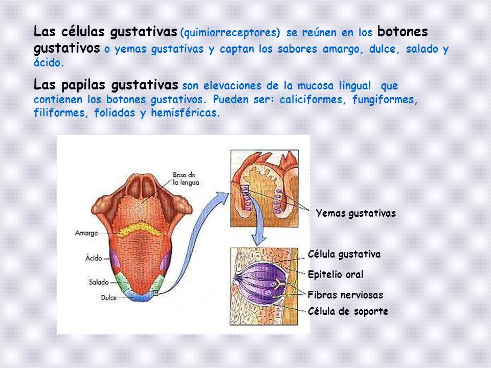 Las células gustativas (quimiorreceptores) se reúnen en los botones gustativos o yemas gustativas y captan los sabores amargo, dulce, salado y ácido.