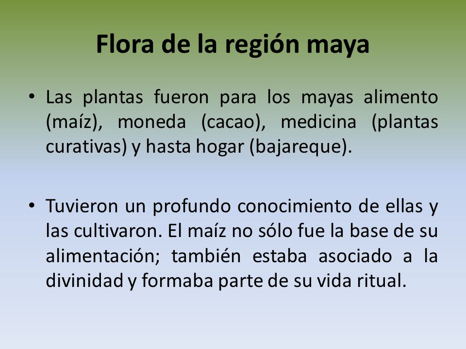 Flora de la región maya Las plantas fueron para los mayas alimento (maíz), moneda (cacao), medicina (plantas curativas) y hasta hogar (bajareque).