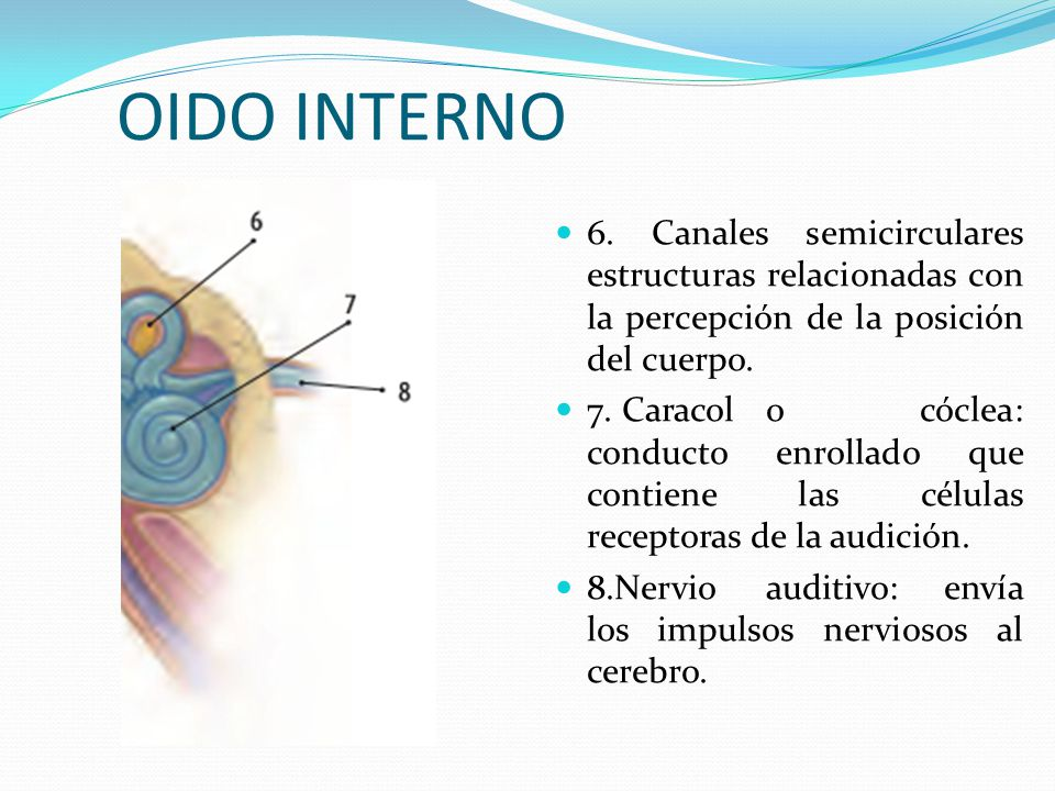 OIDO INTERNO 6. Canales semicirculares estructuras relacionadas con la percepción de la posición del cuerpo.