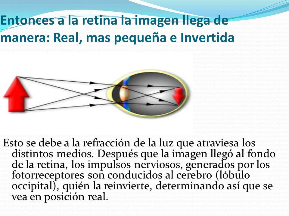 Entonces a la retina la imagen llega de manera: Real, mas pequeña e Invertida