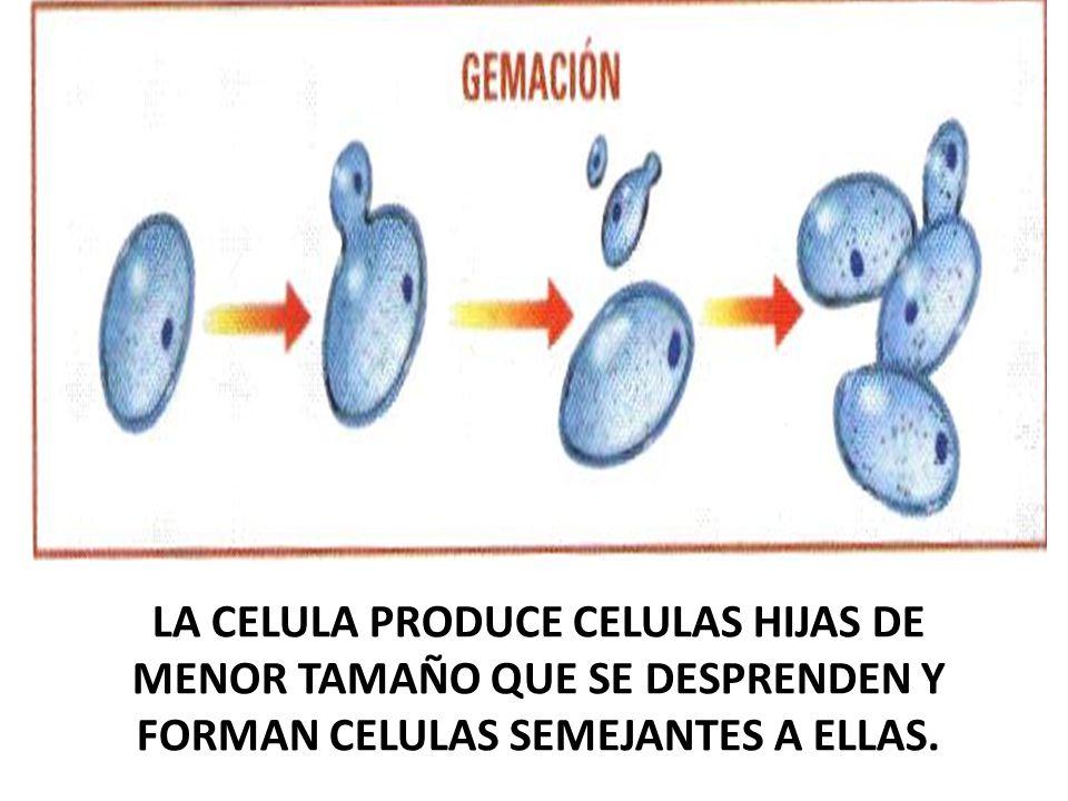 LA CELULA PRODUCE CELULAS HIJAS DE MENOR TAMAÑO QUE SE DESPRENDEN Y FORMAN CELULAS SEMEJANTES A ELLAS.