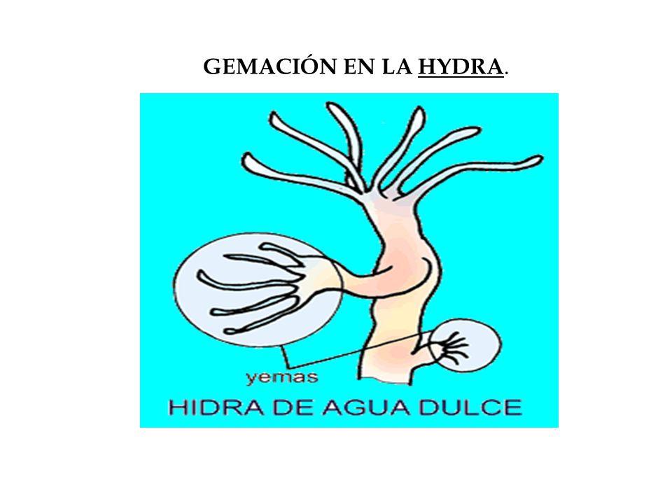 GEMACIÓN EN LA HYDRA.