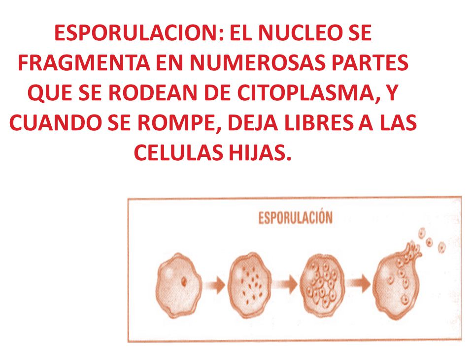 ESPORULACION: EL NUCLEO SE FRAGMENTA EN NUMEROSAS PARTES QUE SE RODEAN DE CITOPLASMA, Y CUANDO SE ROMPE, DEJA LIBRES A LAS CELULAS HIJAS.