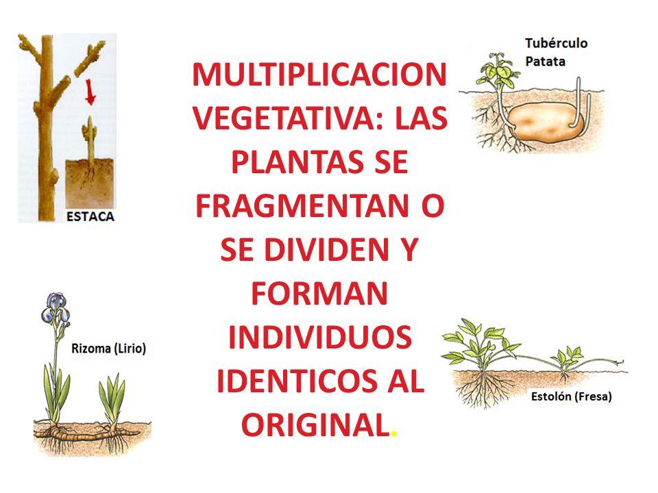 MULTIPLICACION VEGETATIVA: LAS PLANTAS SE FRAGMENTAN O SE DIVIDEN Y FORMAN INDIVIDUOS IDENTICOS AL ORIGINAL.