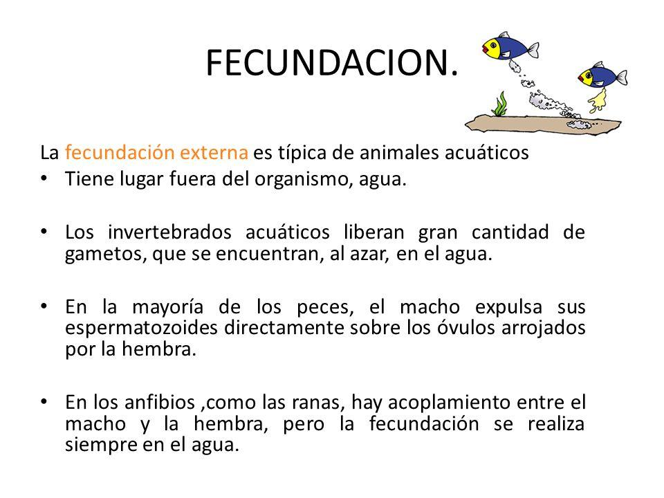 FECUNDACION. La fecundación externa es típica de animales acuáticos