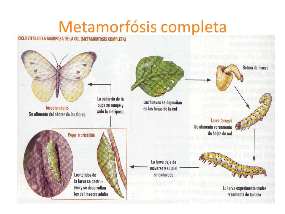 Metamorfósis completa