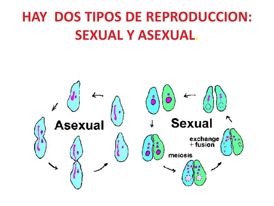 HAY DOS TIPOS DE REPRODUCCION: SEXUAL Y ASEXUAL.