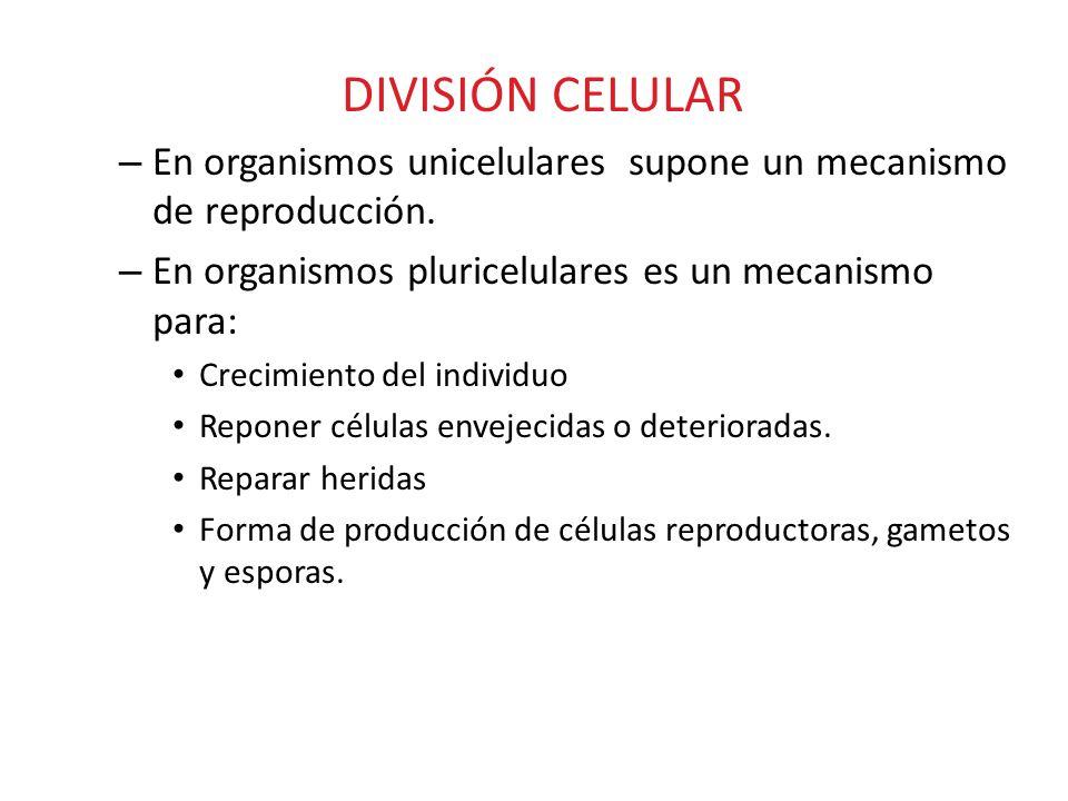 DIVISIÓN CELULAR En organismos unicelulares supone un mecanismo de reproducción. En organismos pluricelulares es un mecanismo para: