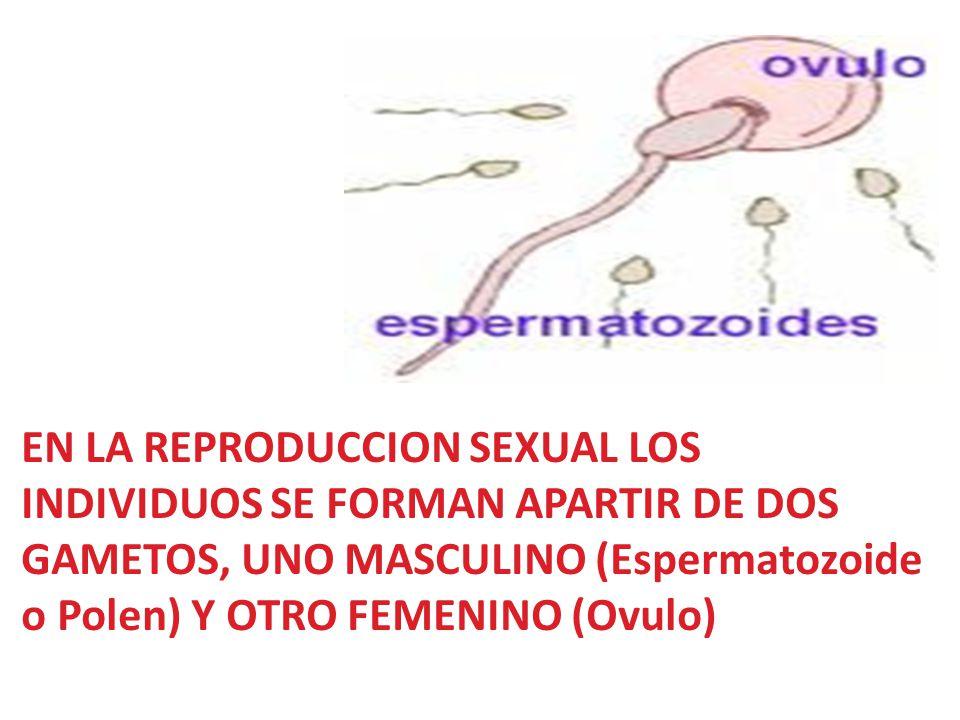 EN LA REPRODUCCION SEXUAL LOS INDIVIDUOS SE FORMAN APARTIR DE DOS GAMETOS, UNO MASCULINO (Espermatozoide o Polen) Y OTRO FEMENINO (Ovulo)